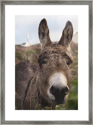 Inishmore Island Adorable Donkey Framed Print by Betsy Knapp