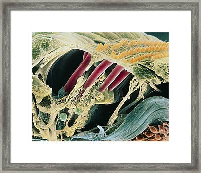 Inner Ear Organ Of Corti Framed Print by Dr Goran Bredberg