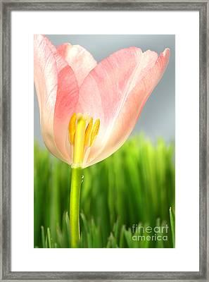 Inside Of A Pink Tulip Framed Print by Sandra Cunningham