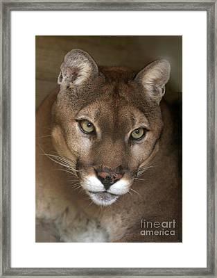 Intense Cougar Framed Print by Sabrina L Ryan