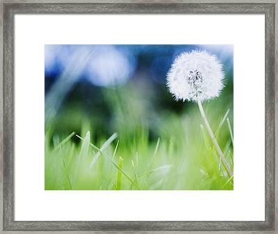 Ireland, County Westmeath, Dandelion In Meadow Framed Print by Jamie Grill