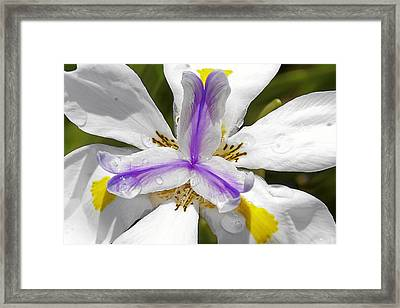 Iris An Explosion Of Friendly Colors Framed Print by Christine Till