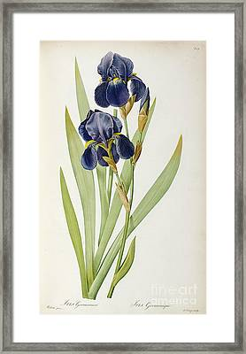 Iris Germanica Framed Print by Pierre Joseph Redoute