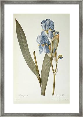 Iris Pallida Framed Print by Pierre Joseph Redoute