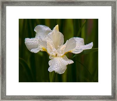 Iris Purity Framed Print by Michael Putnam