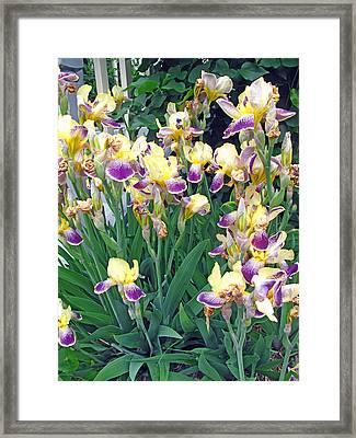Iris Purple And Yellow Framed Print by Barbara McDevitt