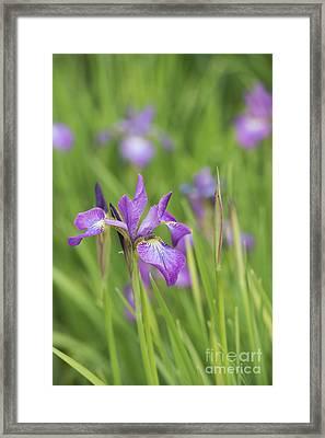 Iris Sibirica Sparkling Rose Flower Framed Print by Tim Gainey
