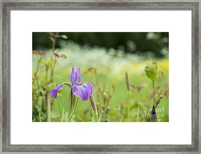 Iris Sibirica Sparkling Rose Framed Print by Tim Gainey