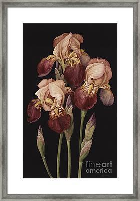 Irises Framed Print by Jenny Barron