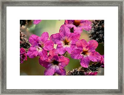 Irridescent Pink Flowers Framed Print by Ryan Kelly