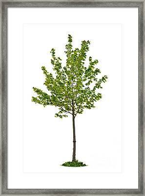 Isolated Young Maple Tree Framed Print by Elena Elisseeva