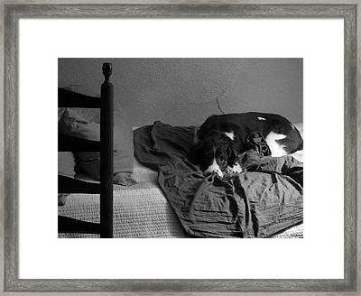 It Wasn't Me - Springer Spaniel Framed Print by Val Arie