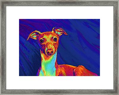 Italian Greyhound  Framed Print by Jane Schnetlage