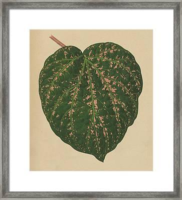 Ivy Leaf, Cissus Porphyrophyllus  Framed Print by English School