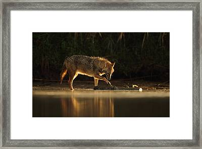 Jackal Morning Play Framed Print by Assaf Gavra