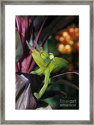 Jacksons Chameleon On Leaf Framed Print by Dave Fleetham - Printscapes