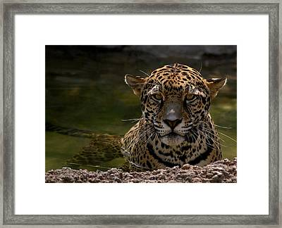 Jaguar In The Water Framed Print by Sandy Keeton