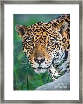 Jaguar Queen Framed Print by Jamie Pham