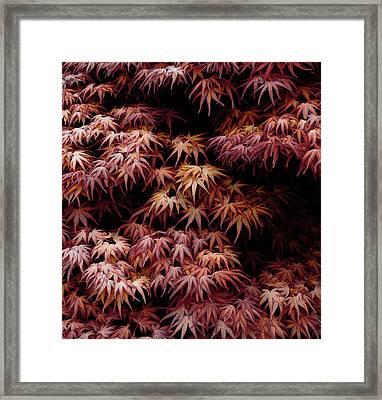 Japanese Maple, Acer Palmatum Seigen Framed Print by Frank Tschakert