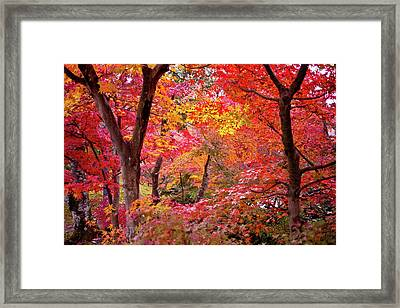 Japanese Maple Trees Framed Print by I love Photo and Apple.