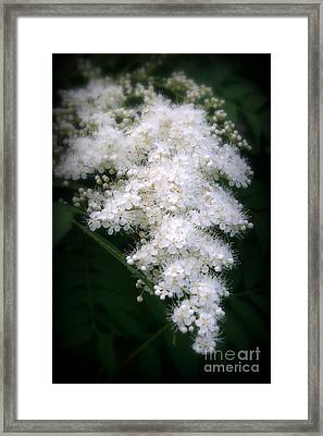 Japanese Spirea Framed Print by Kay Novy
