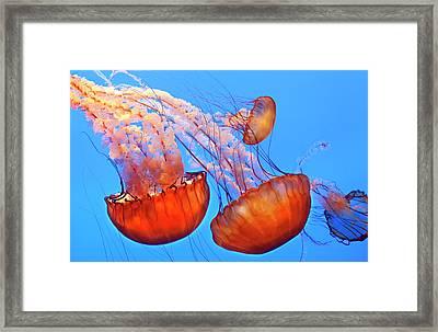 Jelly Fish Framed Print by Jill Buschlen