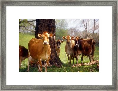 Jersey Lookers Framed Print by Jan Amiss Photography