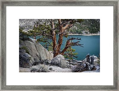 June Lake Juniper Framed Print by Cat Connor