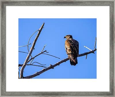 Juvenile Bald Eagle In Nature Framed Print by Vishwanath Bhat