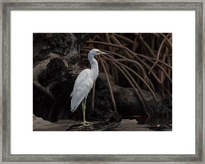Juvenile Little Blue Heron Framed Print by Debra Larabee