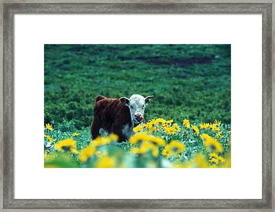 Juvenile White-faced Hereford Framed Print by Paul Nicklen