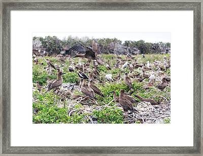 Juveniles Red Footed Boobies Framed Print by Jess Kraft