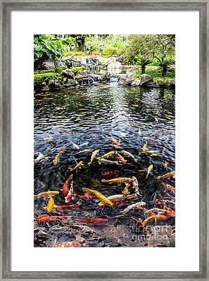 Kauai Koi Pond Framed Print by Darcy Michaelchuk