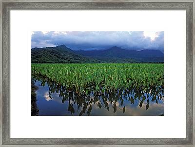 Kauai Taro Field Framed Print by Kathy Yates