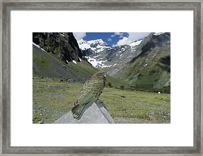Kea Nestor Notabilis Perching On Rock Framed Print by Konrad Wothe