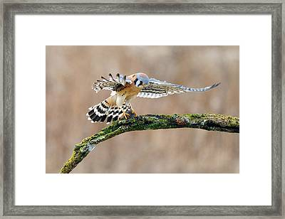 Kestrel Falcon Hunting On The Wing Framed Print by Scott  Linstead