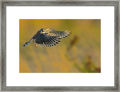Kestrel Takes Flight Framed Print by William Jobes