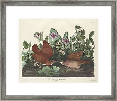 Key-west Dove Framed Print by John James Audubon