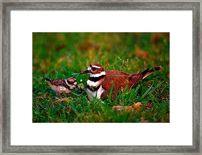 Killdeer And Young Framed Print by Denny Bingaman