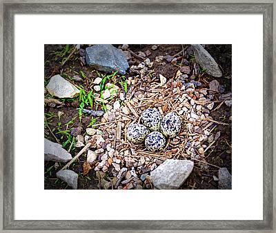 Killdeer Nest Framed Print by Cricket Hackmann