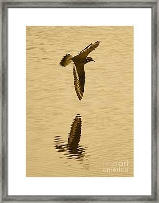Killdeer Over The Pond Framed Print by Carol Groenen