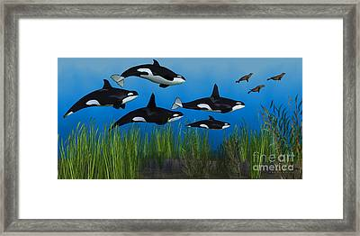 Killer Whale Pod Framed Print by Corey Ford