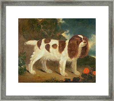 King Charles Spaniel Framed Print by William Thompson