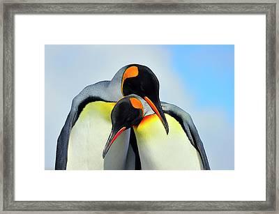 King Penguin Framed Print by Tony Beck