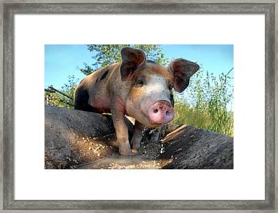 King Porcus Of The Barking Dog Ranch Framed Print by Bill Kellett