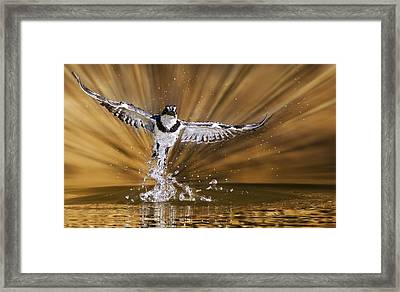 Kingfisher Rise Framed Print by Basie Van Zyl