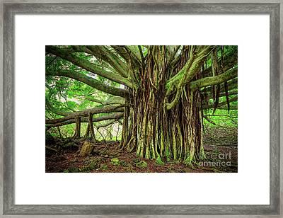 Kipahulu Banyan Tree Framed Print by Inge Johnsson