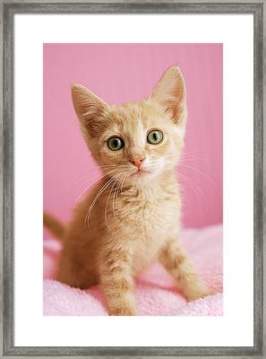 Kitten Standing On Pink Blanket Framed Print by Gillham Studios