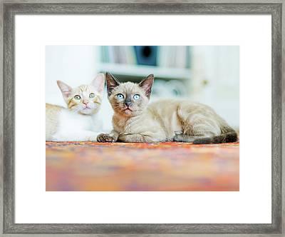 Kitties Sisters Framed Print by Cindy Loughridge