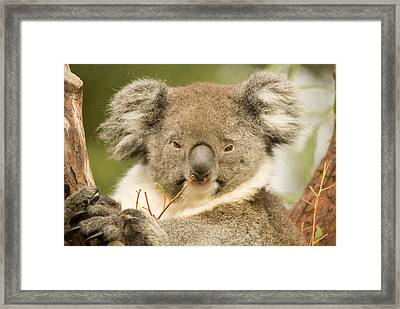 Koala Snack Framed Print by Mike  Dawson
